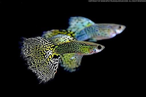 Sốc: Cá bảy màu bé tý mà nhiều người thích nuôi thực chất lại là loài cá nguy hiểm hơn cả hổ và cá mập - 8