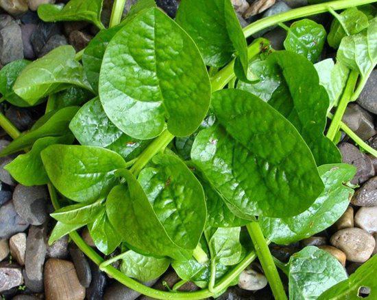 6 lưu ý nhất định phải tránh khi ăn rau mồng tơi để không gây hại sức khỏe - 3