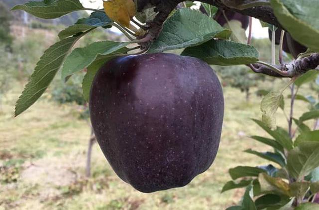Quả táo đen giòn ngọt gấp nhiều lần so với táo thông thường, bạn đã thử chưa? - 1
