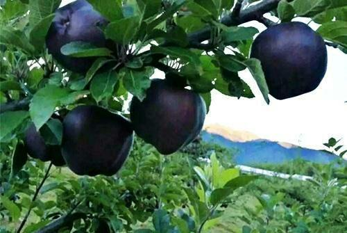 Quả táo đen giòn ngọt gấp nhiều lần so với táo thông thường, bạn đã thử chưa? - 2