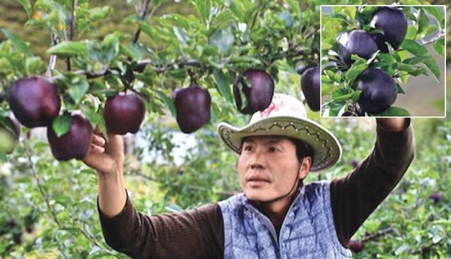 Quả táo đen giòn ngọt gấp nhiều lần so với táo thông thường, bạn đã thử chưa? - 3