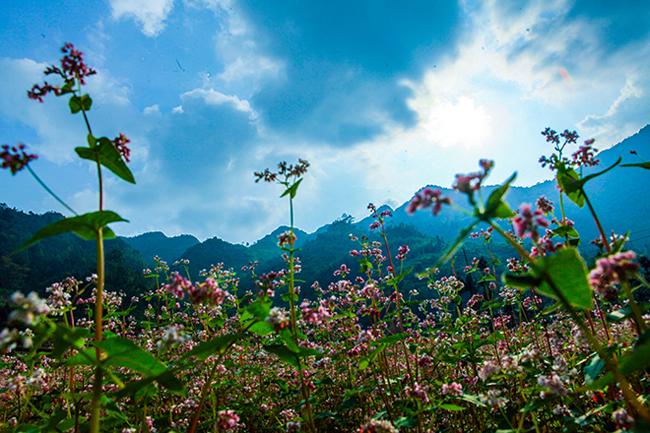Vi vu Hà Giang ngắm mùa hoa tam giác mạch nở đẹp ngất ngây - hình ảnh 1