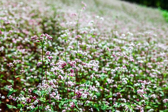 Vi vu Hà Giang ngắm mùa hoa tam giác mạch nở đẹp ngất ngây - hình ảnh 2