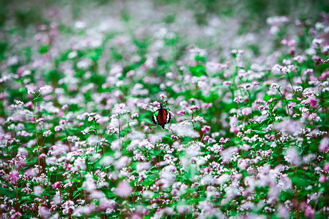 Vi vu Hà Giang ngắm mùa hoa tam giác mạch nở đẹp ngất ngây - hình ảnh 9
