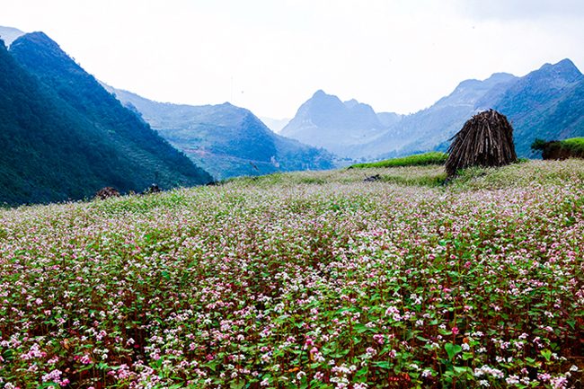 Vi vu Hà Giang ngắm mùa hoa tam giác mạch nở đẹp ngất ngây - hình ảnh 10