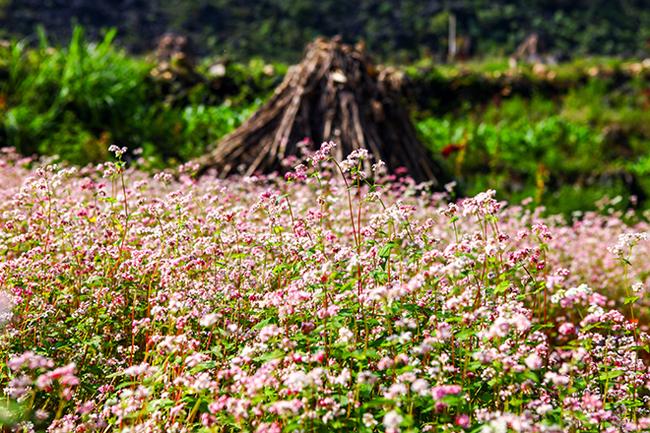 Vi vu Hà Giang ngắm mùa hoa tam giác mạch nở đẹp ngất ngây - hình ảnh 11