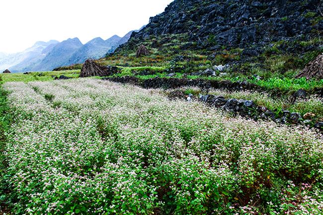Vi vu Hà Giang ngắm mùa hoa tam giác mạch nở đẹp ngất ngây - hình ảnh 12