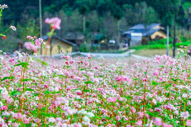 Vi vu Hà Giang ngắm mùa hoa tam giác mạch nở đẹp ngất ngây - hình ảnh 16