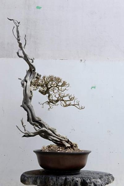 """Cận cảnh: Lão nông Sài Gòn phù phép gốc """"củi"""" thành cây cảnh nửa tỷ - hình ảnh 2"""