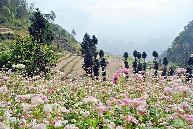 """""""Phát cuồng"""" vẻ đẹp hoa tam giác mạch bung nở trên sườn núi đá Hà Giang - hình ảnh 1"""