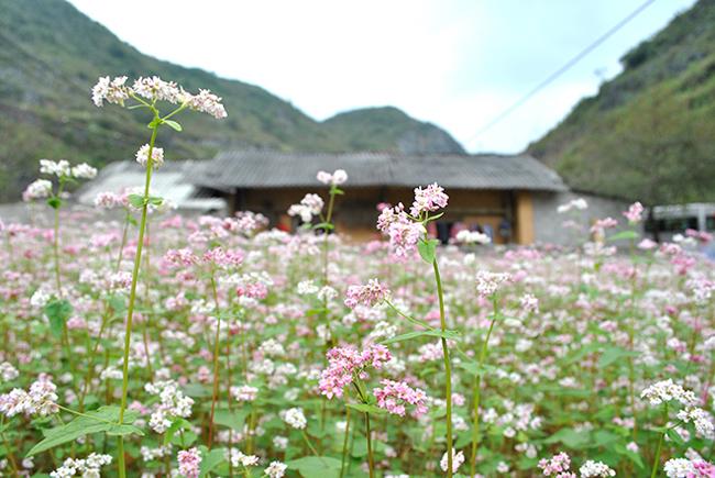 """""""Phát cuồng"""" vẻ đẹp hoa tam giác mạch bung nở trên sườn núi đá Hà Giang - hình ảnh 2"""