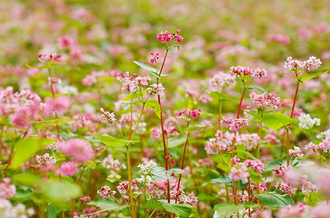 """""""Phát cuồng"""" vẻ đẹp hoa tam giác mạch bung nở trên sườn núi đá Hà Giang - hình ảnh 5"""