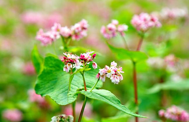 """""""Phát cuồng"""" vẻ đẹp hoa tam giác mạch bung nở trên sườn núi đá Hà Giang - hình ảnh 6"""