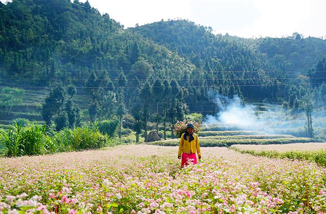 """""""Phát cuồng"""" vẻ đẹp hoa tam giác mạch bung nở trên sườn núi đá Hà Giang - hình ảnh 11"""