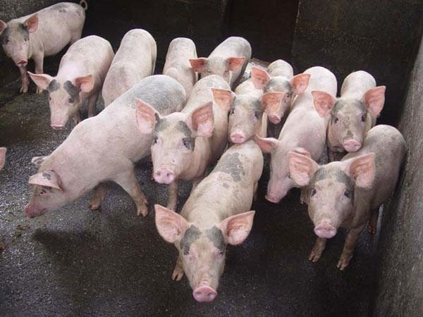 Giá heo hơi hôm nay 1/10: Giá lợn hơi tiếp tục tăng mạnh, Cục Chăn nuôi nói gì? - 1