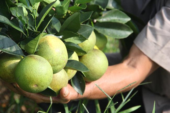 Ngắm vườn cam cho doanh thu 6 tỷ/năm của lão nông 62 tuổi - 2