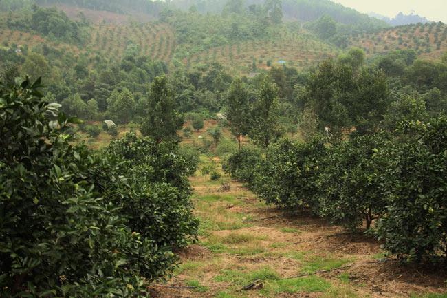 Ngắm vườn cam cho doanh thu 6 tỷ/năm của lão nông 62 tuổi - 4
