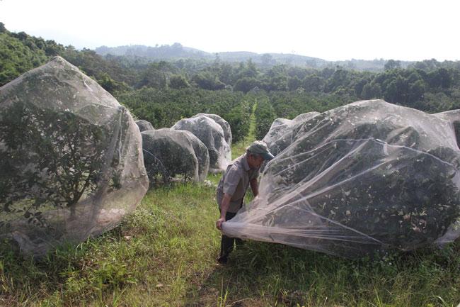 Ngắm vườn cam cho doanh thu 6 tỷ/năm của lão nông 62 tuổi - 3