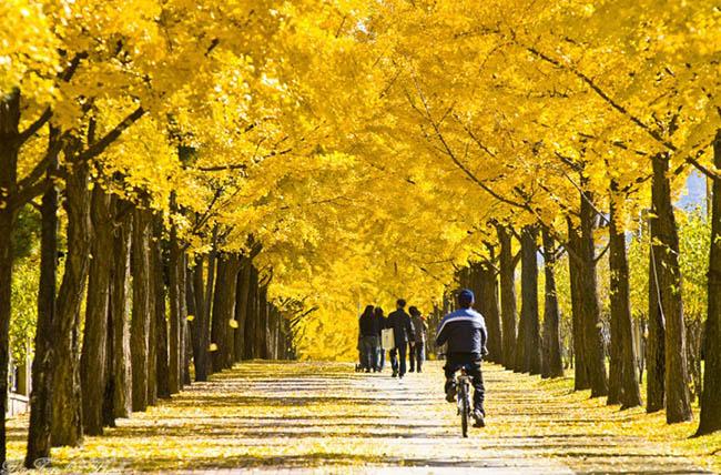 Những con đường mùa thu nổi tiếng tại Hàn Quốc, Nhật Bản - 4