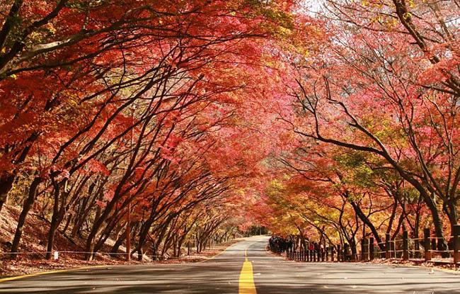 Những con đường mùa thu nổi tiếng tại Hàn Quốc, Nhật Bản - 5