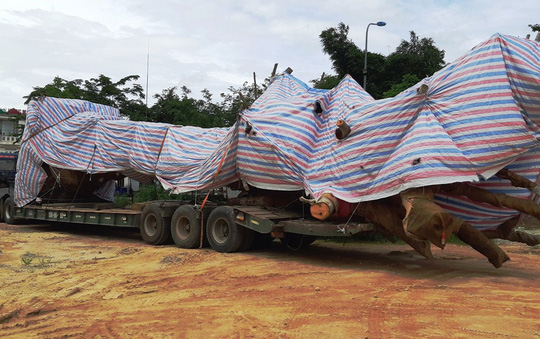 """Cây """"quái thú"""" bị bắt giữ ở Quảng Bình từng được bán đấu giá ở Quảng Ngãi - 2"""
