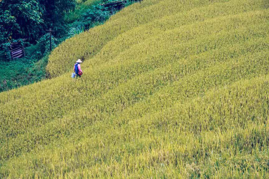 Ngỡ ngàng vẻ đẹp ruộng bậc thang Hoàng Su Phì mùa lúa chín - 13