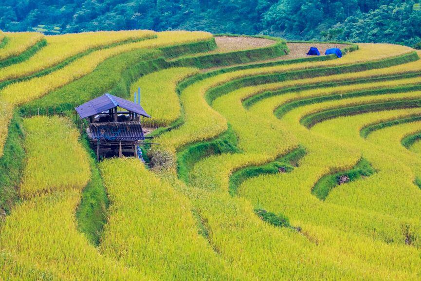 Ngỡ ngàng vẻ đẹp ruộng bậc thang Hoàng Su Phì mùa lúa chín - 6