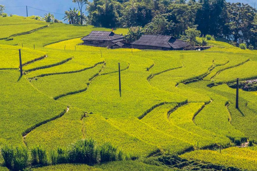 Ngỡ ngàng vẻ đẹp ruộng bậc thang Hoàng Su Phì mùa lúa chín - 8