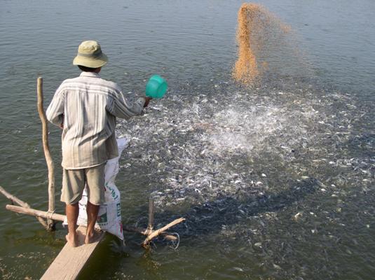 """Giá cá tra giống """"lên đỉnh"""", nông dân ồ ạt đào ao - 3"""