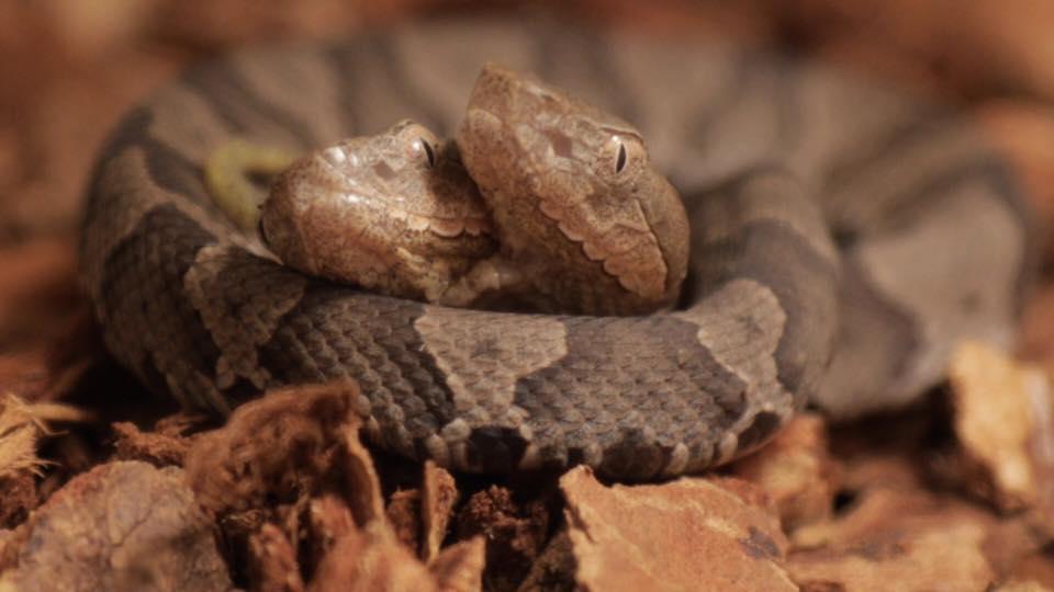 Phát hiện rắn hai đầu cực hiếm ở sân nhà - 1