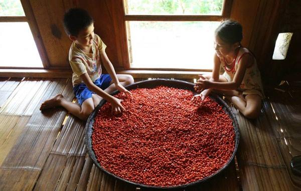 """""""Thủ phủ"""" trồng đặc sản dổi đổi vàng 9999 xứ Mường vào mùa thu hoạch - 1"""