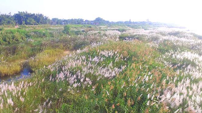 Bức tranh tuyệt tác mang tên hoa cỏ lau bên dòng Trà Khúc - 1