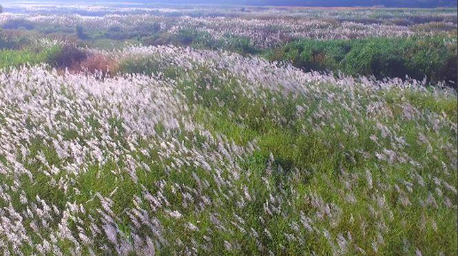 Bức tranh tuyệt tác mang tên hoa cỏ lau bên dòng Trà Khúc - 5