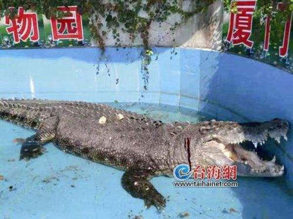 """Cá sấu lớn nhất ở châu Á bị khách TQ ném chảy máu xem """"có thật không"""" - 2"""