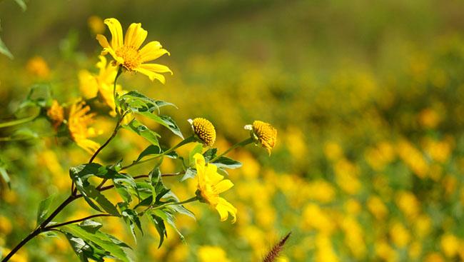 """Núi lửa Chư Đăng Ya """"thức giấc"""" giữa bạt ngàn hoa dã quỳ - 3"""