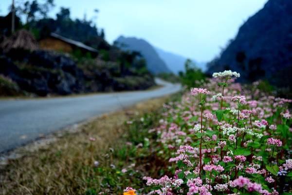 Mê mẩn ngắm đồi hoa tam giác mạch trên cao nguyên Mộc Châu lộng gió - 1