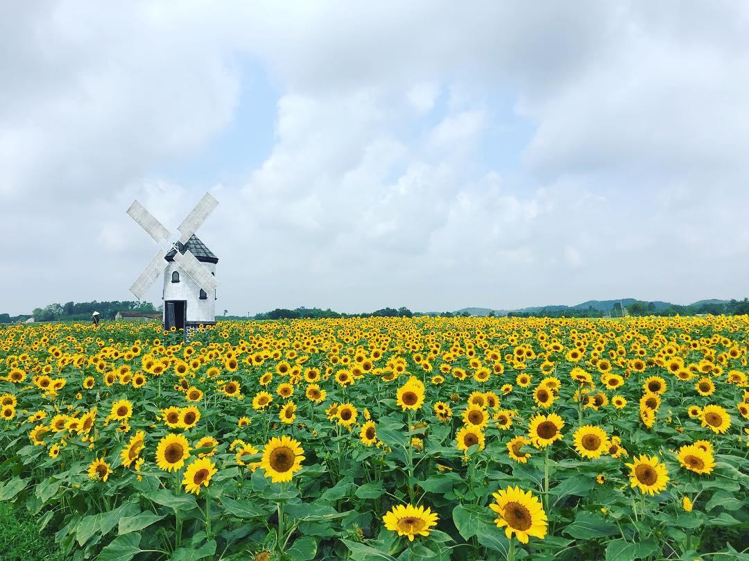 Thiên đường hoa hướng dương khiến giới trẻ ngây ngất ở Bắc Giang - 1