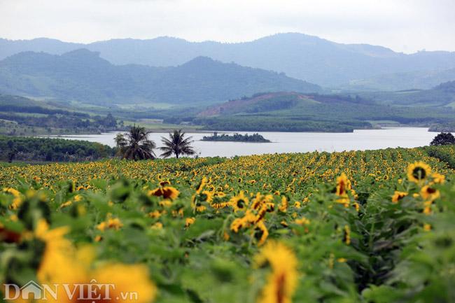 Cánh đồng hoa hướng dương đẹp nhất Việt Nam bắt đầu nở rộ - 1