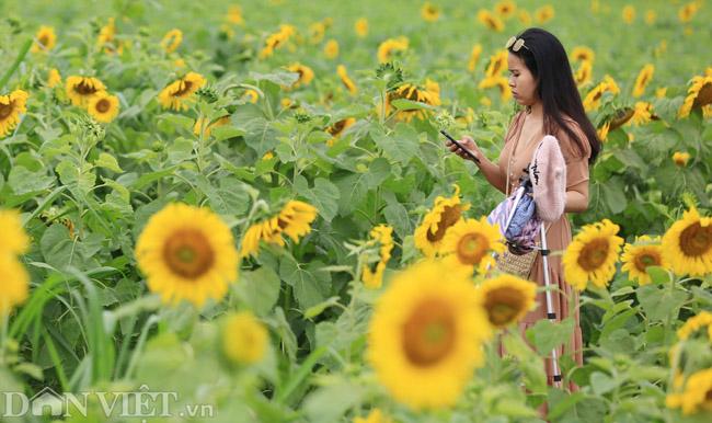 Cánh đồng hoa hướng dương đẹp nhất Việt Nam bắt đầu nở rộ - 10
