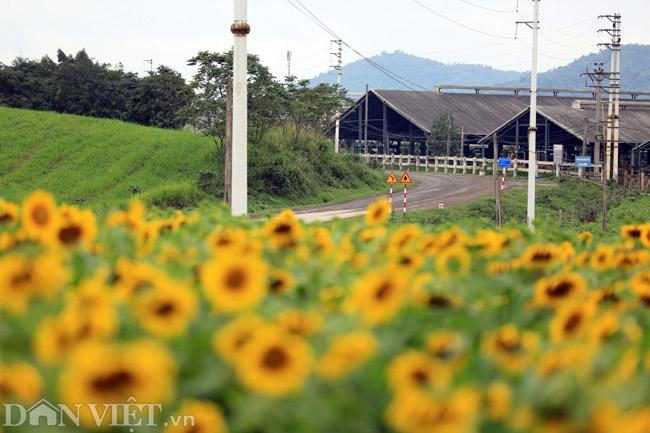 Cánh đồng hoa hướng dương đẹp nhất Việt Nam bắt đầu nở rộ - 2