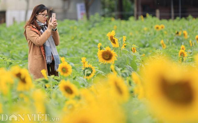 Cánh đồng hoa hướng dương đẹp nhất Việt Nam bắt đầu nở rộ - 4