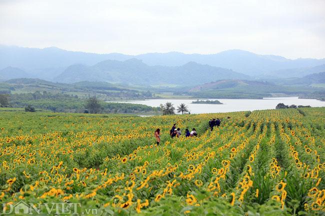 Cánh đồng hoa hướng dương đẹp nhất Việt Nam bắt đầu nở rộ - 5