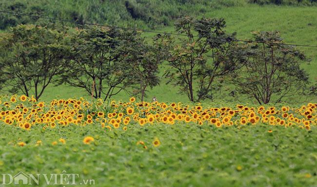 Cánh đồng hoa hướng dương đẹp nhất Việt Nam bắt đầu nở rộ - 6