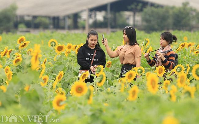 Cánh đồng hoa hướng dương đẹp nhất Việt Nam bắt đầu nở rộ - 9