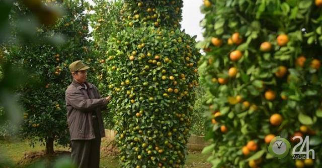 Ảnh, clip: Vườn quýt lục bình cao hơn 3m, giá 50 triệu mỗi cặp