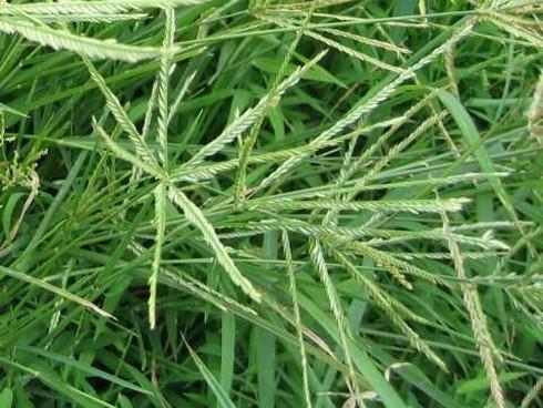 Bất ngờ với tác dụng của loài cỏ mọc dại ở Việt Nam