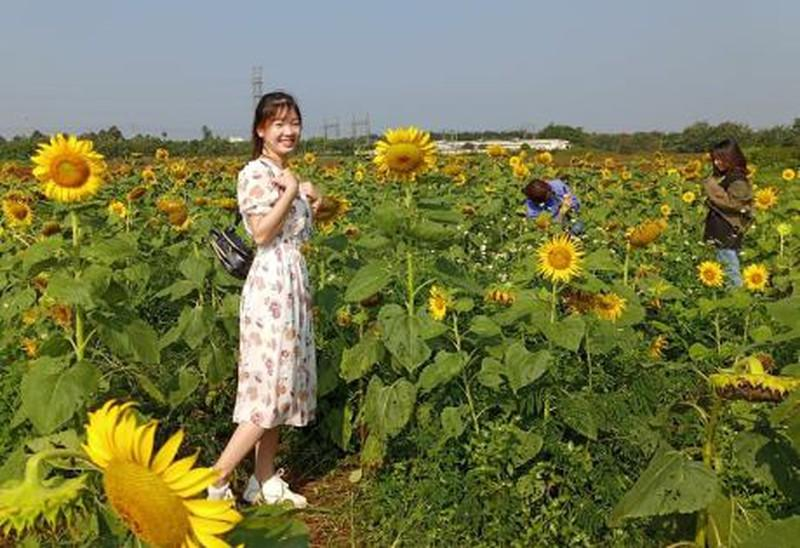 Đắk Lắk: Giới trẻ thích thú với cánh đồng hoa hướng dương giữa TP. Buôn Ma Thuột - 3
