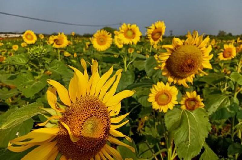 Đắk Lắk: Giới trẻ thích thú với cánh đồng hoa hướng dương giữa TP. Buôn Ma Thuột - 7