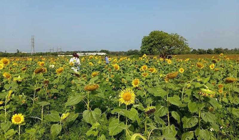 Đắk Lắk: Giới trẻ thích thú với cánh đồng hoa hướng dương giữa TP. Buôn Ma Thuột - 6