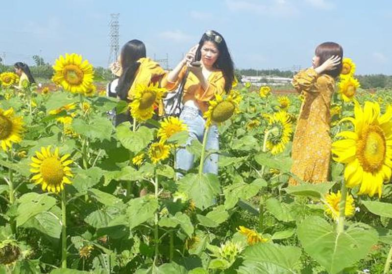 Đắk Lắk: Giới trẻ thích thú với cánh đồng hoa hướng dương giữa TP. Buôn Ma Thuột - 8